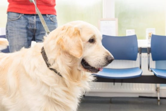Golden Retriever in our waiting area