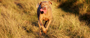 running dog - protect from grass seeds